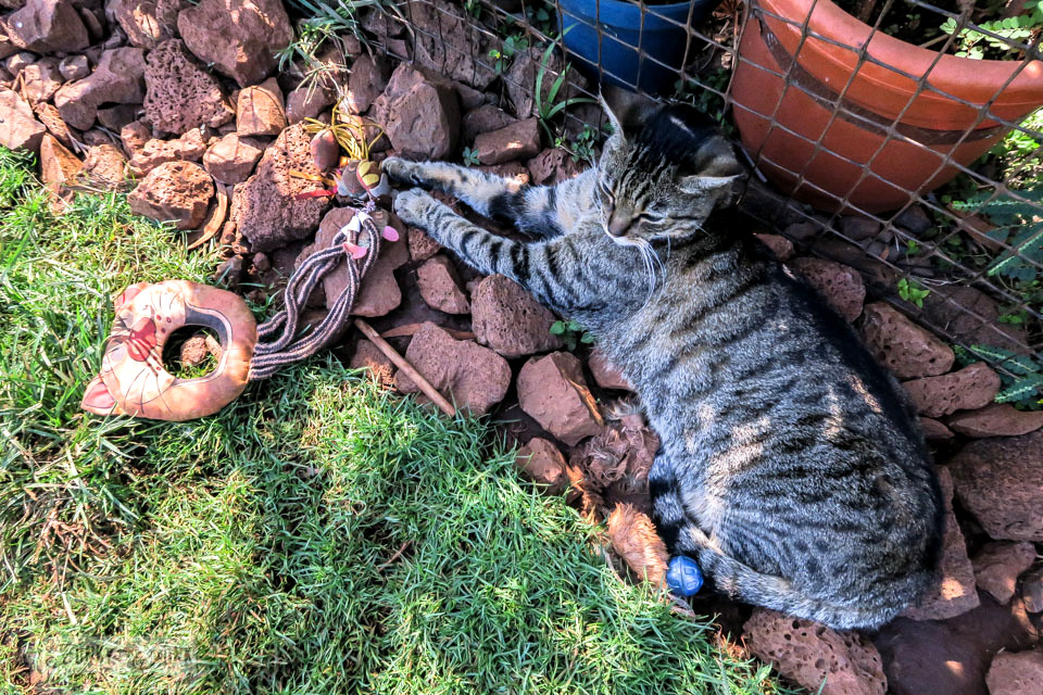 A cat lounging on the lava rocks in the shade with a cat toy at Lanai Cat Sanctuary in Hawaii, home of 800 cats.