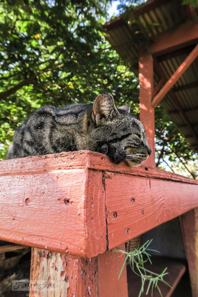 A cute cat catching a nap at Lanai Cat Sanctuary in Hawaii, home of 800 cats.