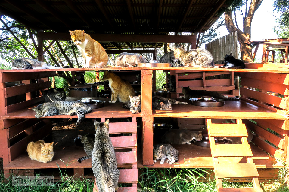 All the cats waiting for dinner to be served at Lanai Cat Sanctuary in Hawaii, home of 800 cats.