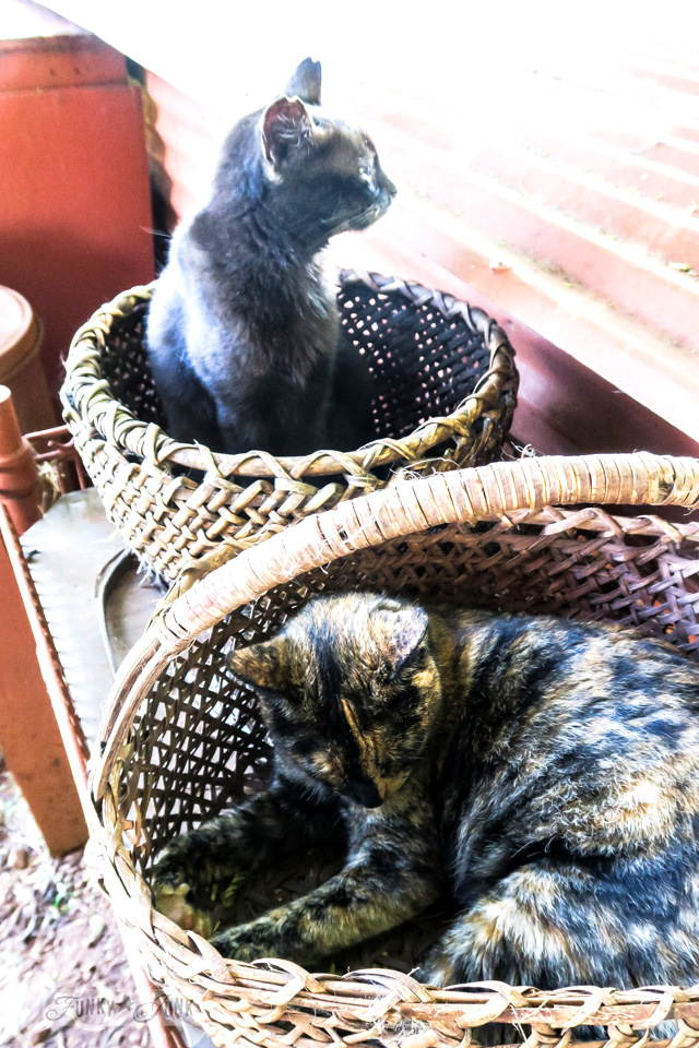 Cats snoozing in wicker baskets at Lanai Cat Sanctuary in Hawaii, home of 800 cats.