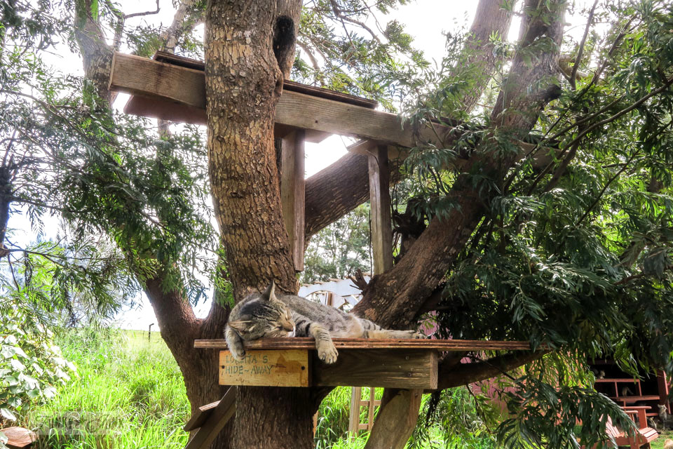 Cat napping in a tree fort at Lanai Cat Sanctuary in Hawaii, home of 800 cats.