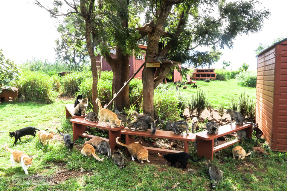 Cats on benches at Lanai Cat Sanctuary in Hawaii, home of 800 cats.