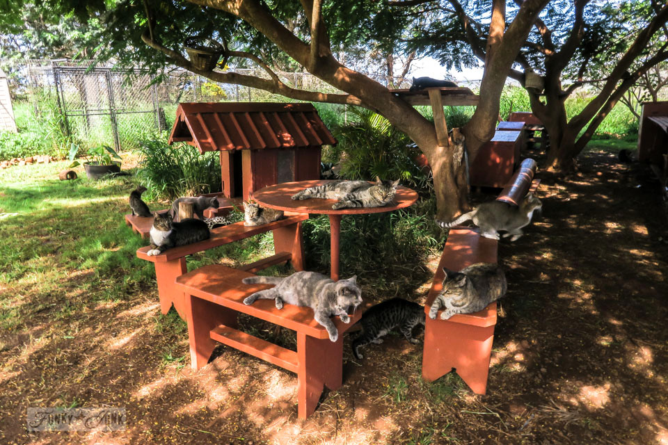 Cats lounging in the shade on tables and benches at Lanai Cat Sanctuary in Hawaii, home of 800 cats.