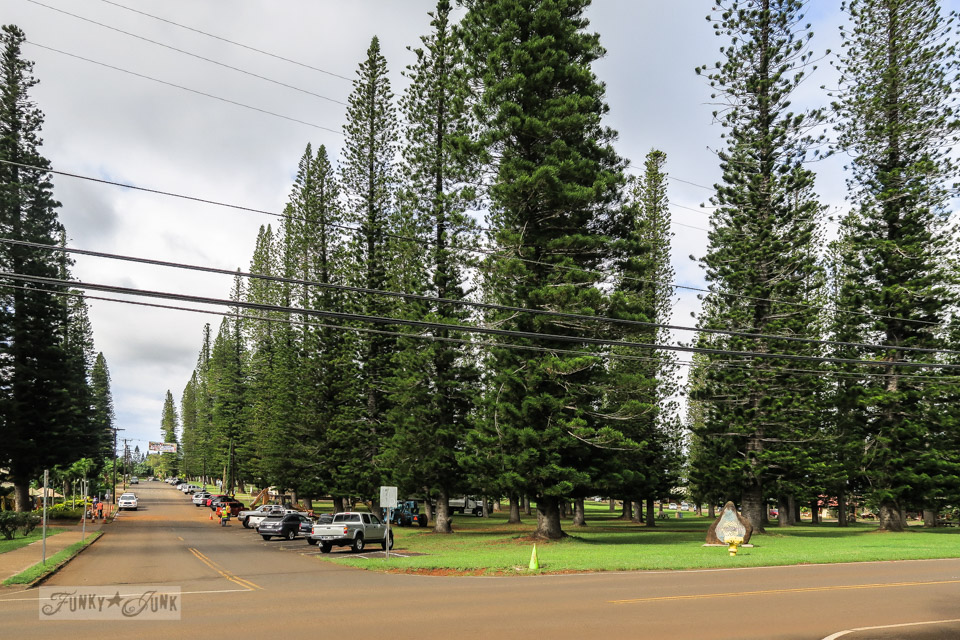 The tall, skinny pine trees filling the main park in central Lanai, Hawaii