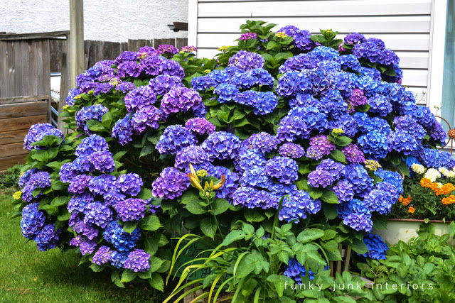 Blue and purple summer hydrangea bush in full bloom- part of How to prune hydrangeas to achieve the most blooms!