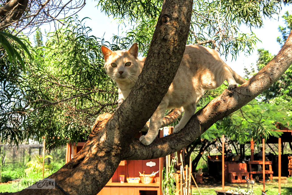 A cat climbing a large shade tree at Lanai Cat Sanctuary in Hawaii, home of 800 cats.