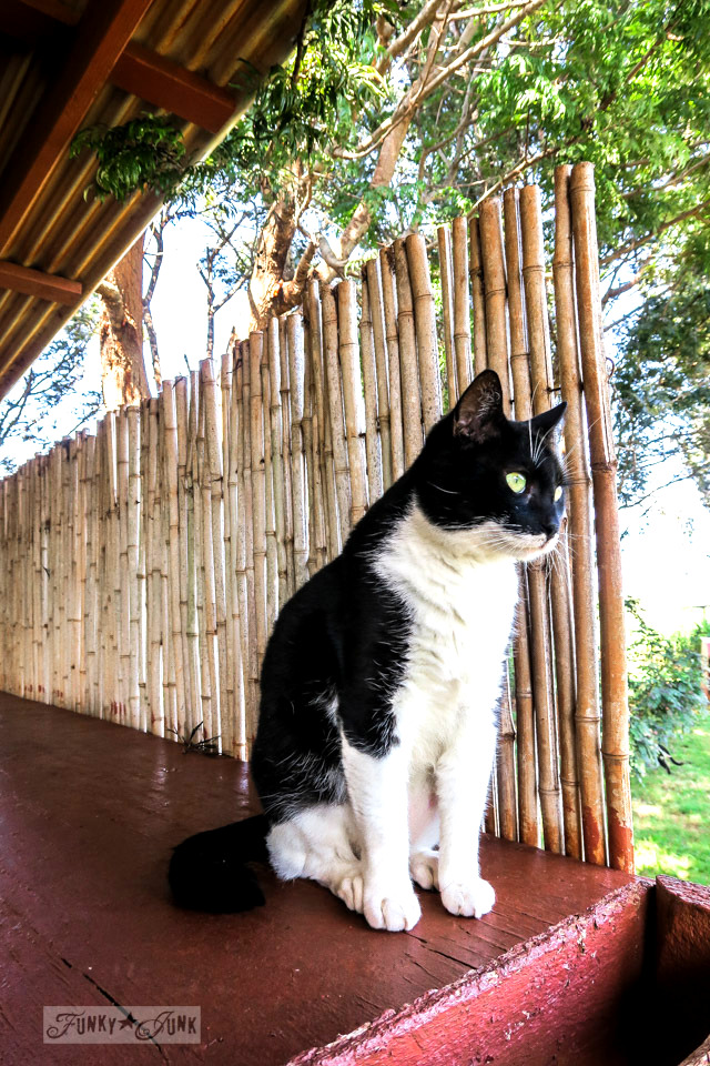 A beautiful black and white tuxedo cat at the Lanai Cat Sanctuary in Hawaii