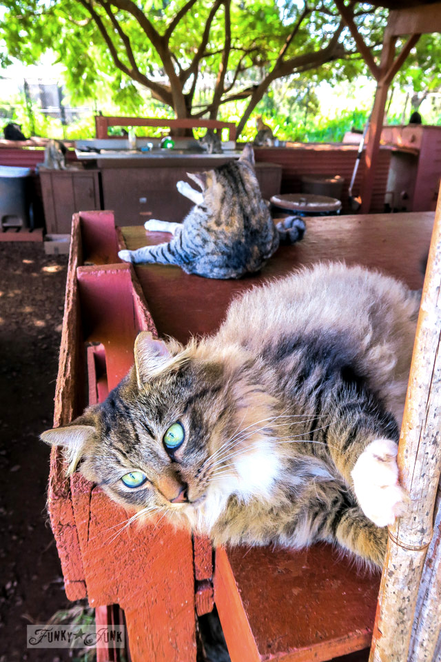 Cute long haired beauty at Lanai Cat Sanctuary in Hawaii, home of 800 cats.