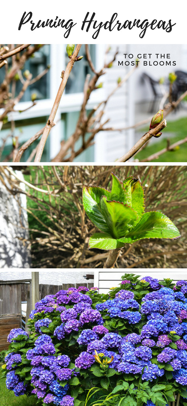 Pruning hydrangeas to get the most blooms! How I do it, when to do it, what to make, etc!