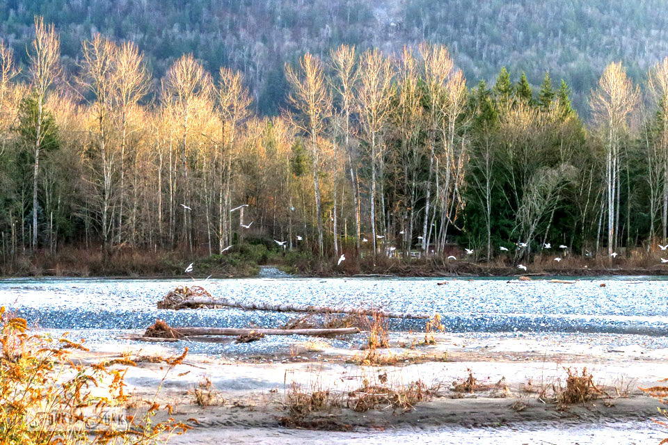 A gorgeous winter river scene at the Vedder River Rotary Trail in Chilliwack, BC during a bike trail ride.