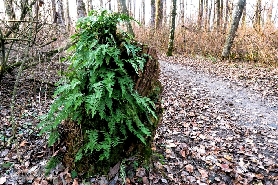 A stump providing the only greenery through a fern along Vedder River Rotary Trail in Chilliwack, BC during a bike trail ride.