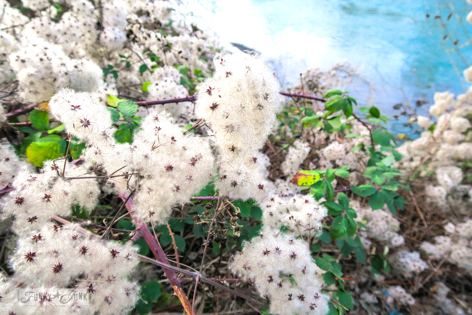 A gorgeous clump of winter blooms at the river at the Vedder River Rotary Trail in Chilliwack, BC during a bike trail ride.