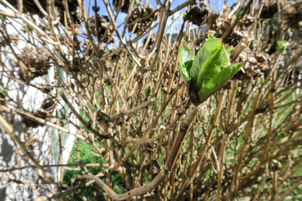 In spring, the green buds appear, showcasing where to prune - part of How to prune hydrangeas to achieve the most blooms!