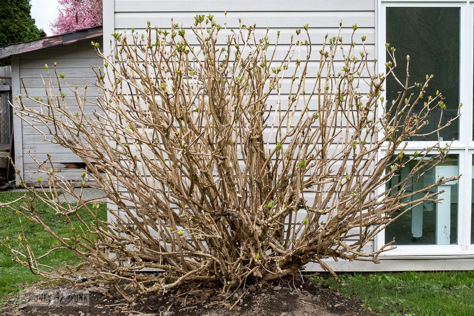 A fully pruned hydrangea bush in spring with buds showing - How to prune hydrangeas to achieve the most blooms!