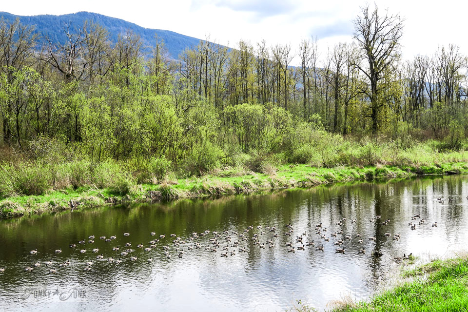 A flock of ducks swimming in the wetlands along the Vedder River Rotary Trail in Chilliwack BC