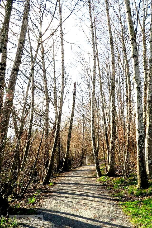 Towering bare spring trees along the Vedder River Rotary Trail in BC, Canada