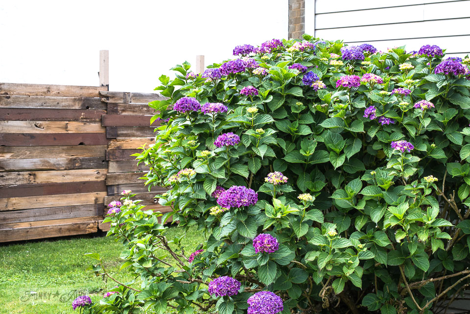 A reclaimed wood fence with a blooming purple hydrangea bush in a backyard