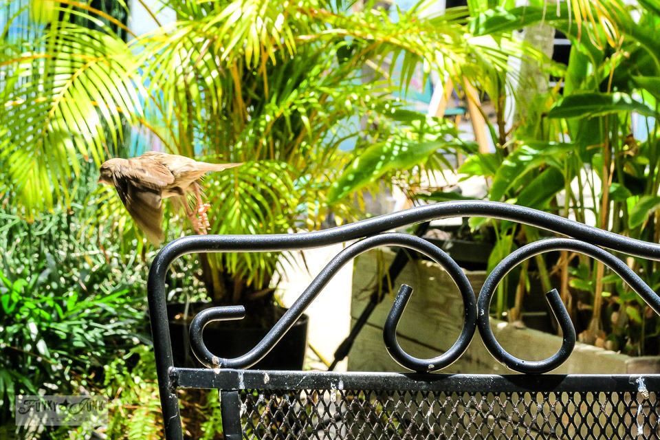 a bird taking flight at Belle Cafe in Kihei, Maui
