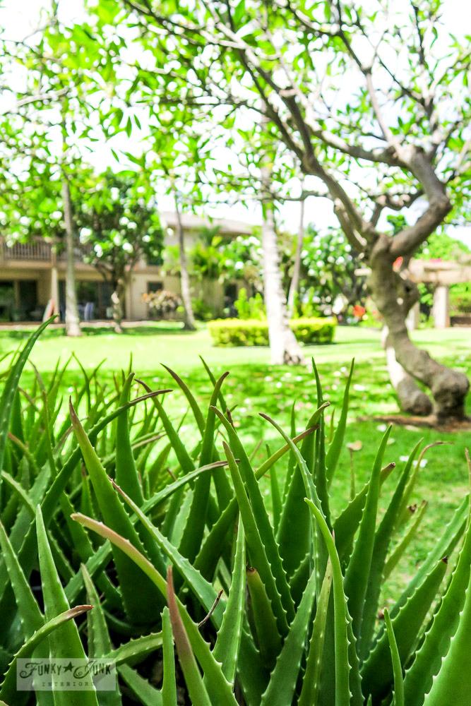 thriving aloe vera plant at a condo in Maui, Hawaii