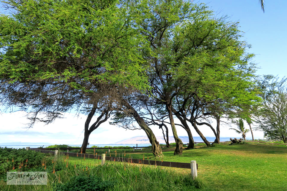 trees along the beach in Kihei, Maui