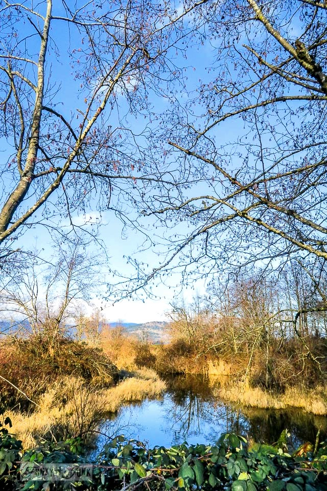 Grassy wetlands against a vibrant blue sky - A Christmas bike ride along the Vedder River Rotary Trail in Chilliwack BC.