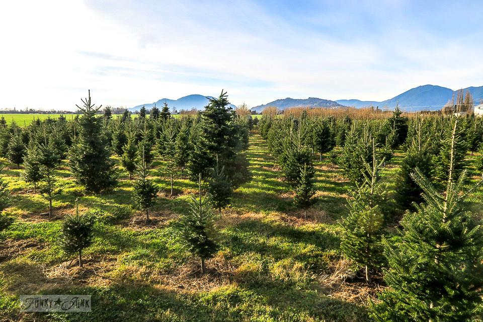 Pine Meadows Christmas Tree Farm where we found 'the one'.