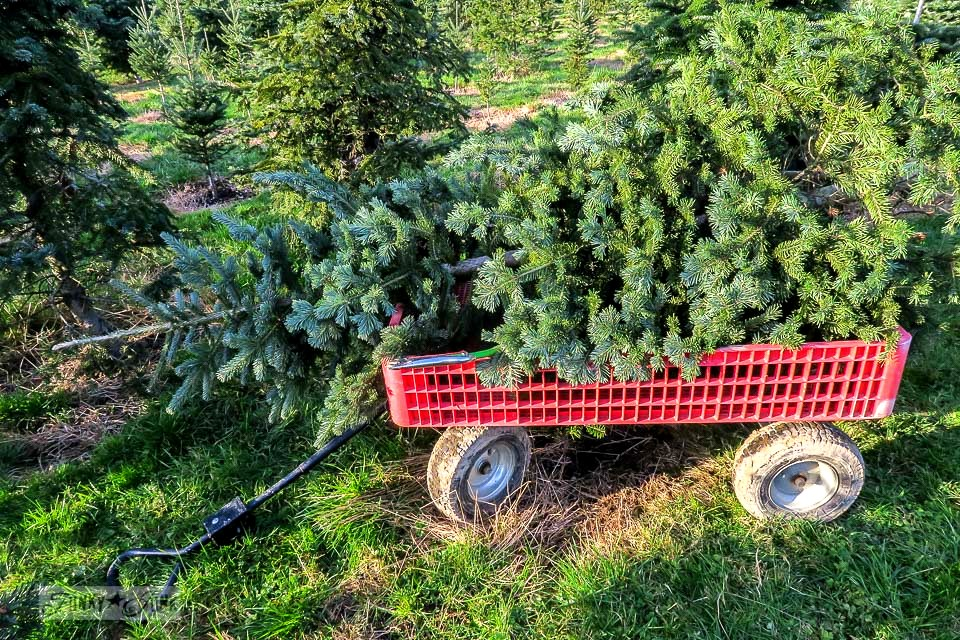 Carting out the cut Christmas tree from the tree farm after finding 'the one'. Pine Meadows Tree Farm.