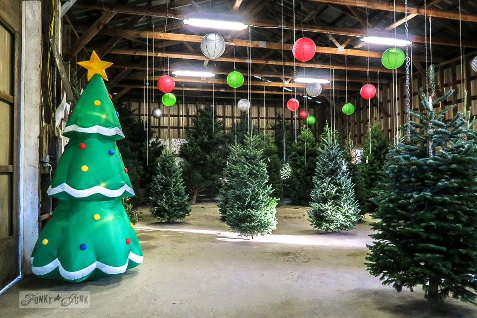 Pre-cut hanging Christmas trees at Pine Meadows Christmas Tree Farm