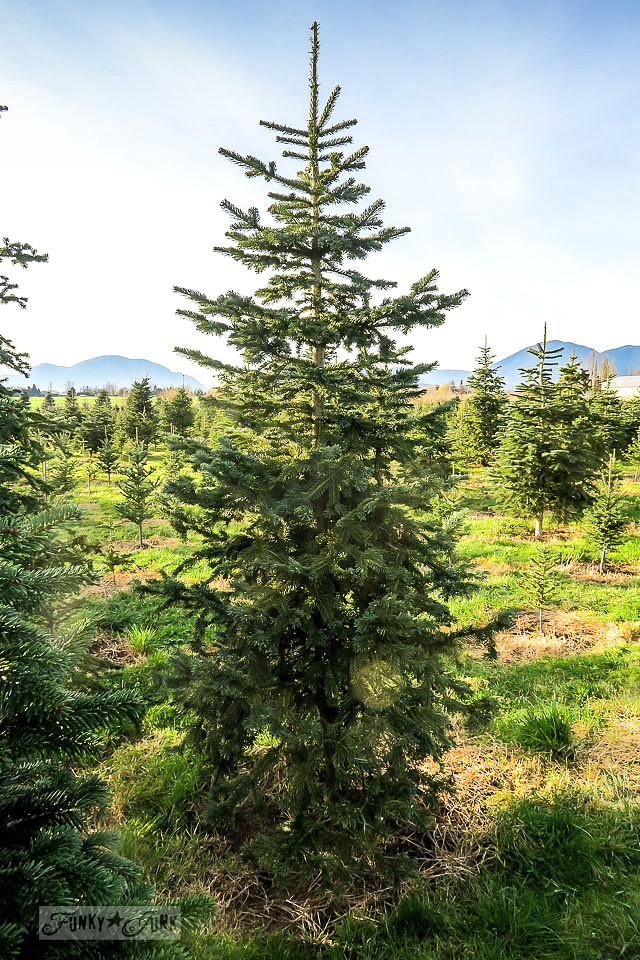 Finding 'the one' at the Christmas tree farm