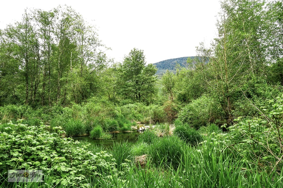 A lush wetlands view along the Vedder River Rotary Trail during a bike ride. #bc #canada #travel #trails