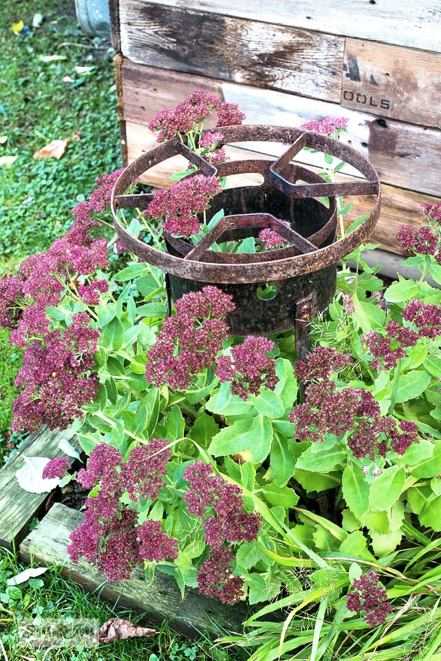 See how rusty junk was added to a fall flowerbed as garden art beside a rustic garden shed.