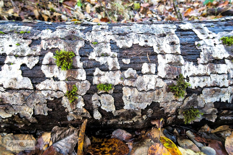A fallen tree with interesting bark markings along the Vedder River Rotary Trail.
