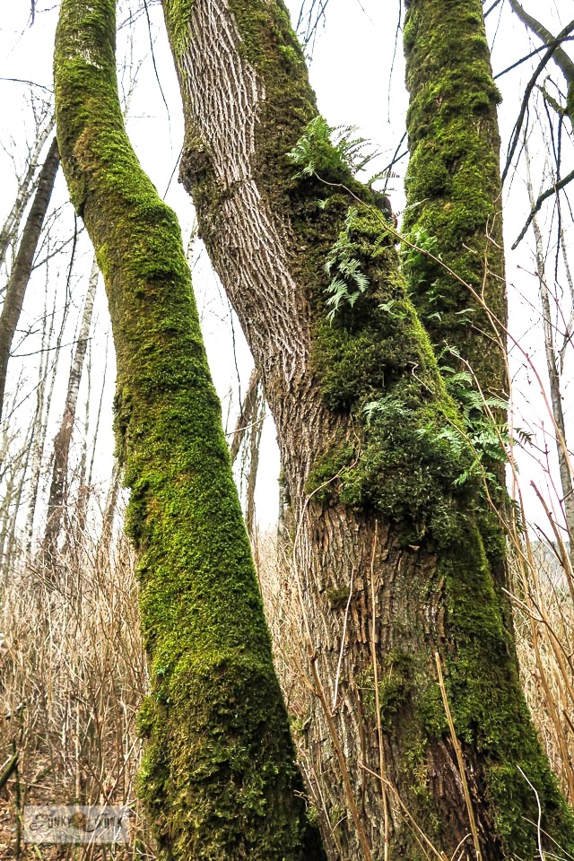 Growing moss and ferns on a forest tree along the Vedder River Rotary Trail.