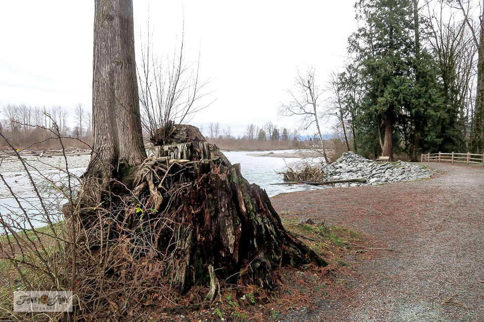 A tree stump along the Vedder River Rotary Trail in front of the Vedder River Campground in Chilliwack, BC, Canada.