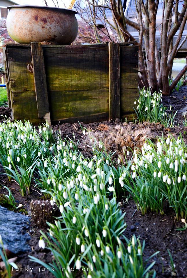 snowdrops_in_the_garden