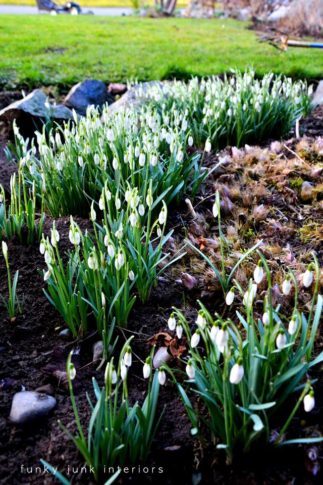 snowdrops_in_bloom_in_the_garden