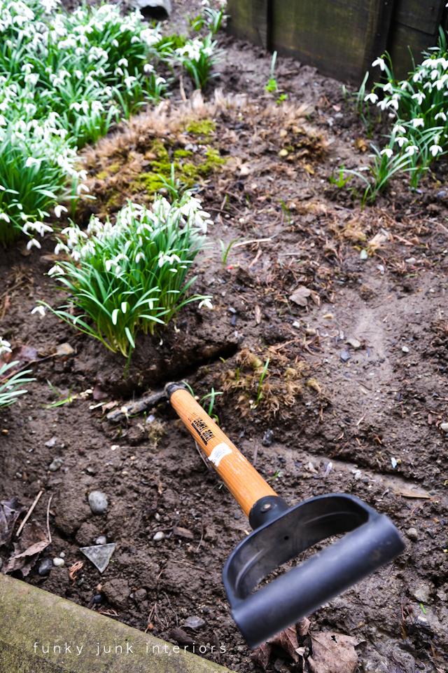 snowdrops_dug_out_of_the_garden